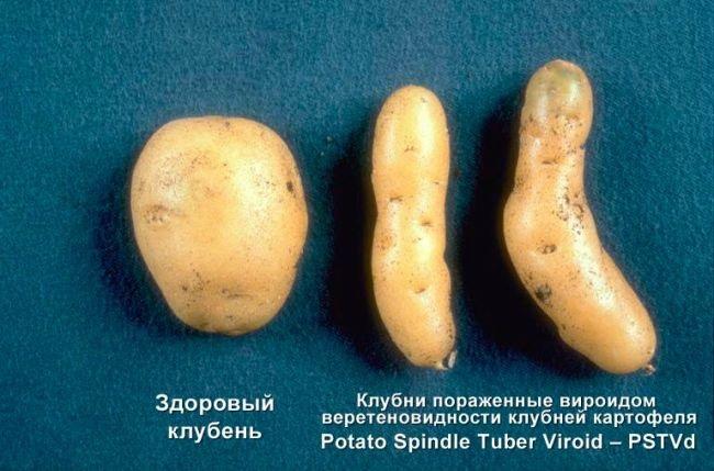 фото веретеновидности или готики клубней картофеля