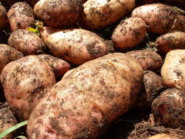 фото картошки лапоть - большой клубень