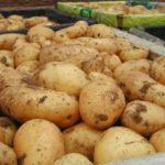 картошка триумф фото