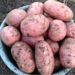 картошка юбиляр фото