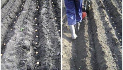 фото посадки картошки под плуг бороздами