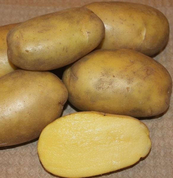сорт картофеля Гулливер фото
