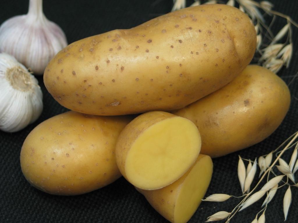 сорт картофеля императрица фото