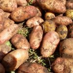 фото сорта картофеля лапоть