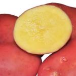 сорт картофеля ред фэнтэзи фото