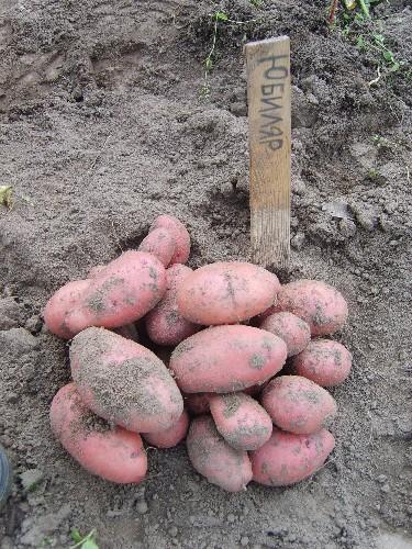 сорт картофеля юбиляр фото