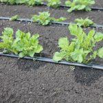 как сделать капельный полив картофеля