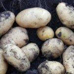 фото картошки атлант