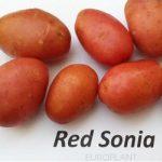 фото картошки Ред Соня