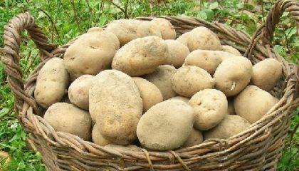 картошка волат фото