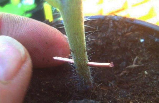 борьба с фитофторозом помидор медной проволокой
