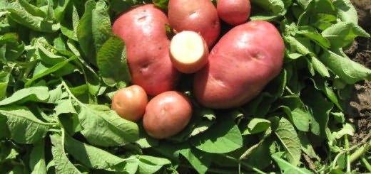 фото радонежской картошки