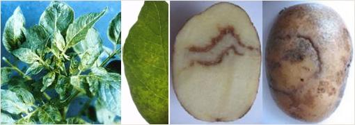 симптомы пестростебельности картофеля фото