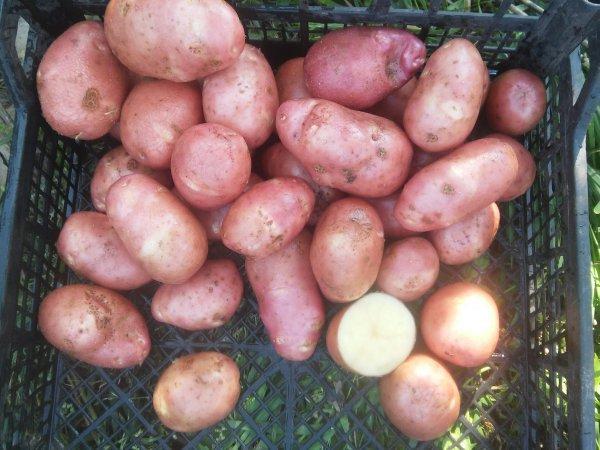 фото сорта картофеля краса