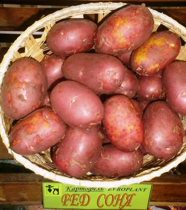 фото сорта картофеля Ред Соня