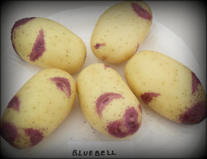 фото сорта картофеля улыбка