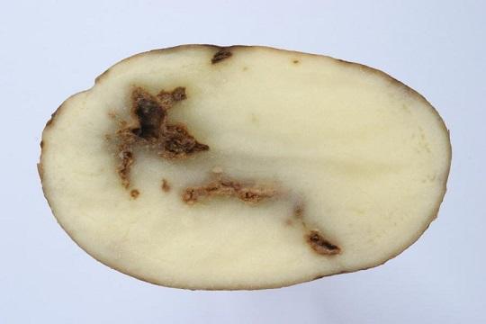 Tobacco rattle virus, или TRV на картофеле фото