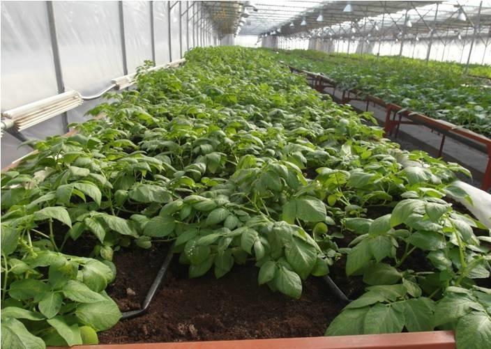 выращивание картофеля в теплице фото