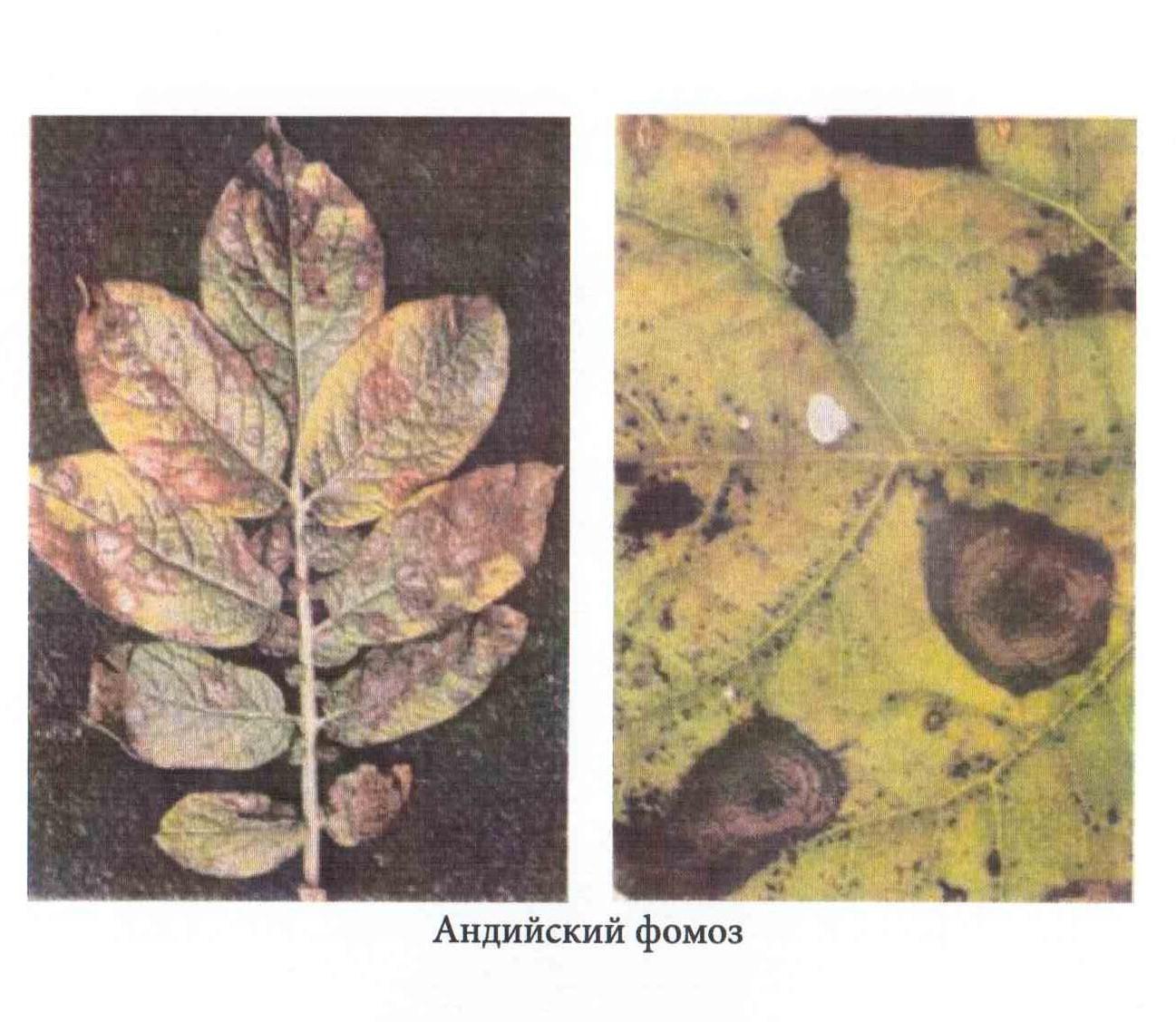 фото андийского фомоза картошки