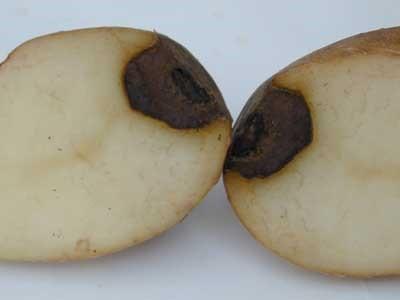 фото фомоза картошки на клубнях