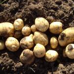 фото картошки Антонина