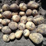 фото картошки электра