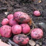 фото картошки крыымская роза