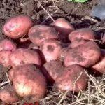 фото картошки кузнечанка