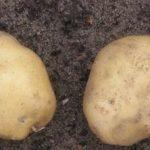 фото картошки Одиссей