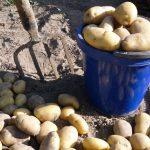 когда можна начинать копать картошку