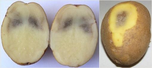 фото меланоза картофеля