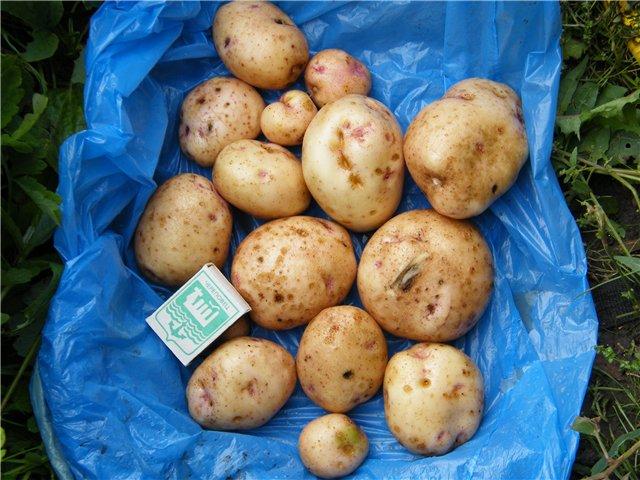 фото сорта картофеля Антонина
