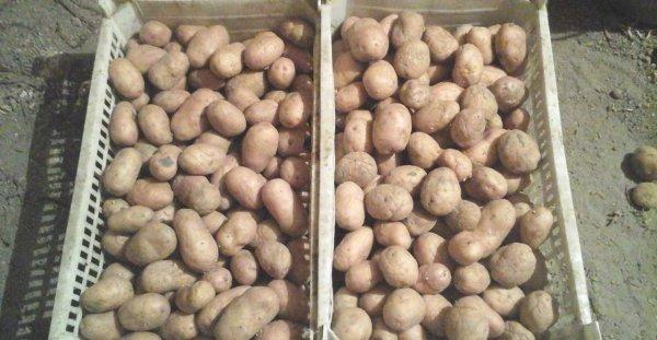 фото сорта картофеля боровичок