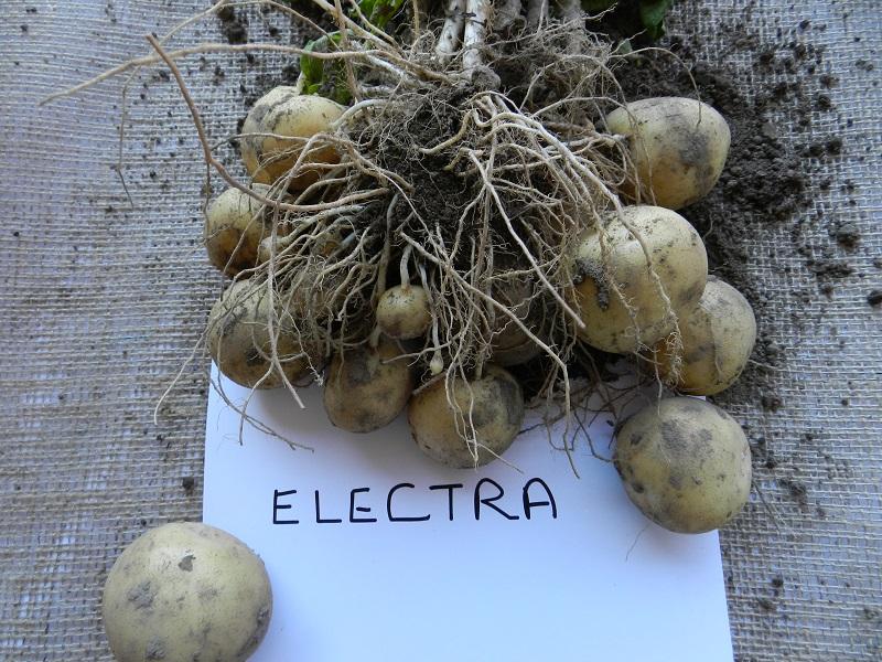 фото сорта картофеля электра