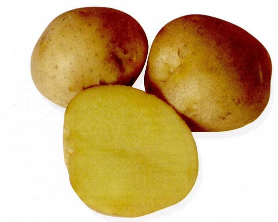 фото сорта картофеля кемеровчанин