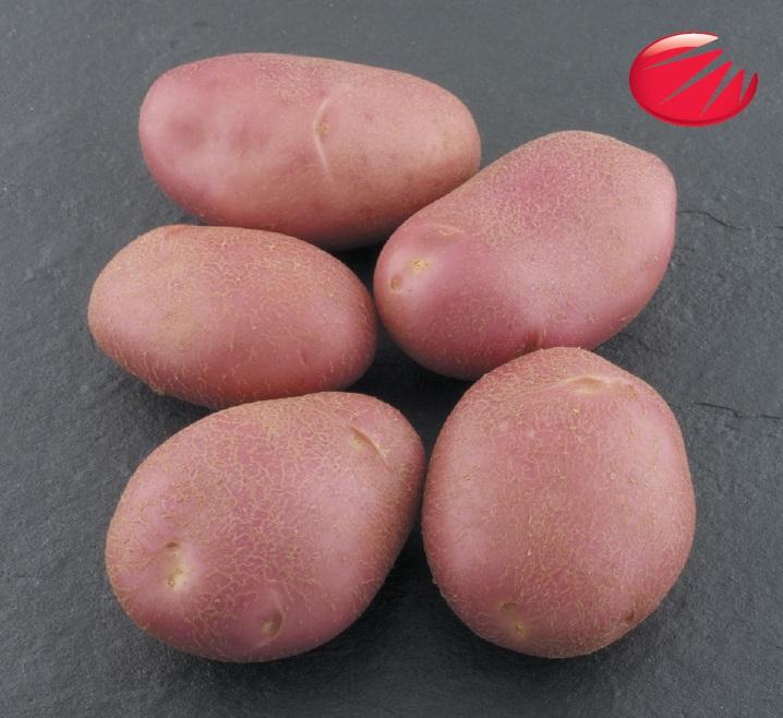 фото сорта картофеля Мемфис (Memphis)