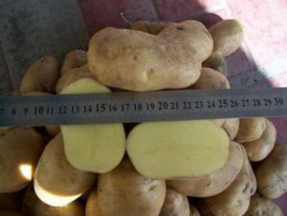 сорт картофеля Одиссей фото