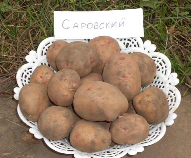 фото сорта картофеля саровский