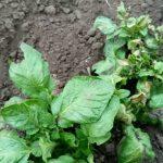 фото картошки, попавшей под заморозки