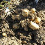 сорт картофеля сарма фото
