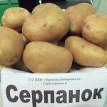 фото картошки серпанок