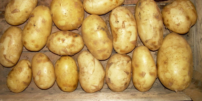фото сорта картофеля бронницкий