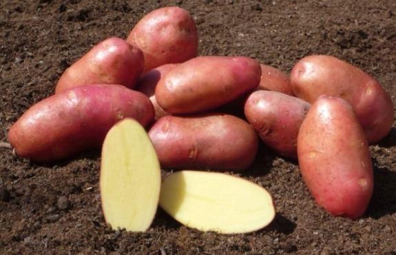 фото сорта картофеля мажор