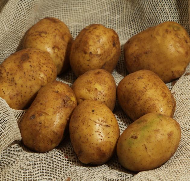 фото сорта картофеля Никита