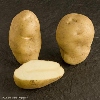 сорт картофеля Ньютон фото