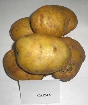 картошка сарма фото