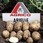 картошка Ариель фото