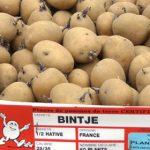 фото картошки Бентье (Bintje)