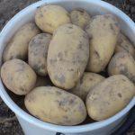 фото картошки чароит