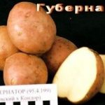 фото картошки губернатор